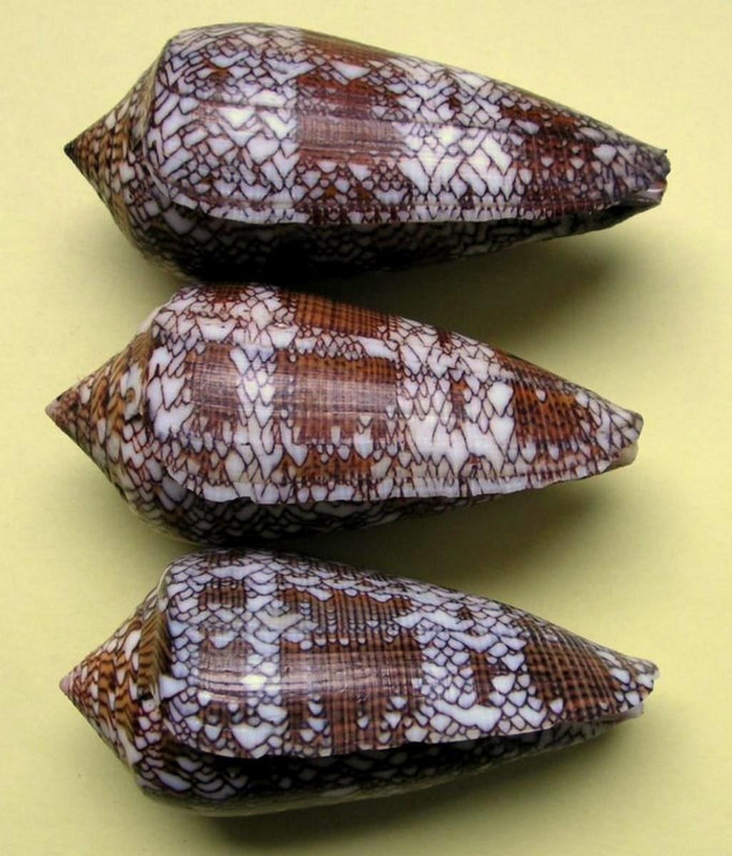 Conus (Cylinder) textile   Linnaeus, 1758 - Page 5 C_textquez10