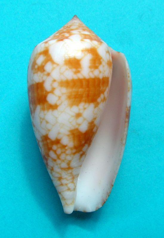 Conus (Cylinder) archiepiscopus sirventi   Fenaux 1943 - Page 2 C_texsirv17