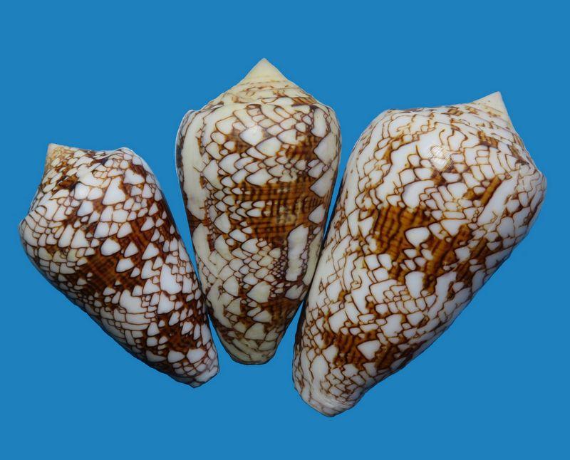 Conus (Cylinder) neovicarius   da Motta, 1982 C_textneov10