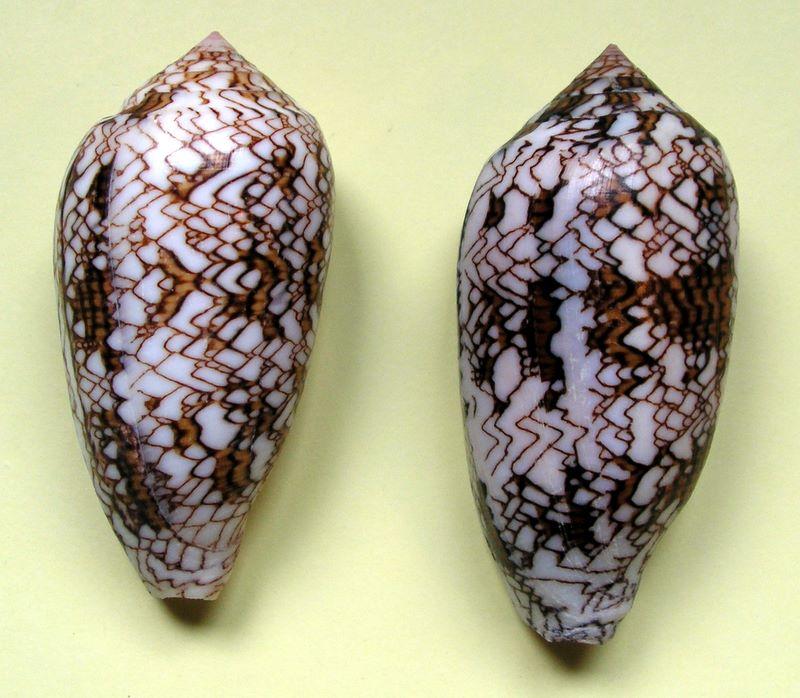 Conus (Cylinder) textile   Linnaeus, 1758 - Page 3 10