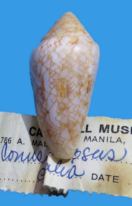 Conus (Cylinder) nodulosus (Sowerby II, 1866)  C_nodulos11