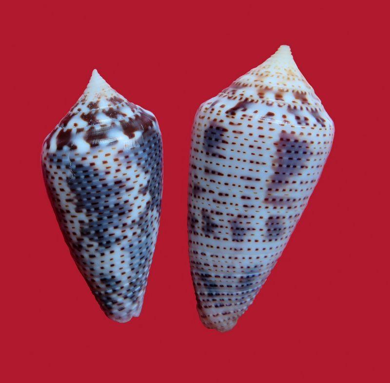 Conasprella (Ximeniconus) ximenes (Gray, 1839) C_ximene10