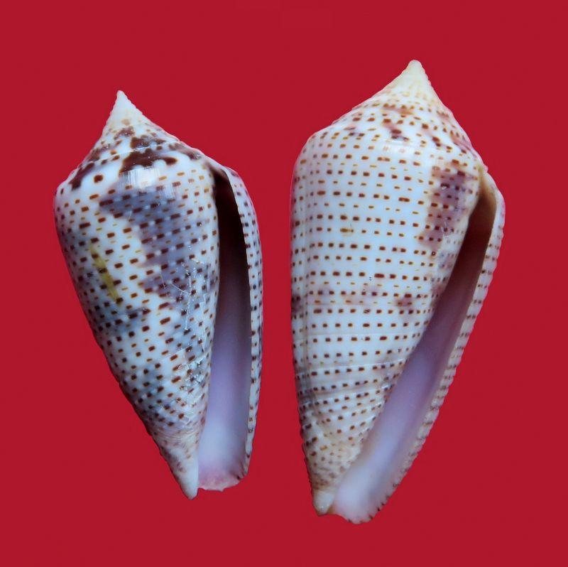 Conasprella (Ximeniconus) ximenes (Gray, 1839) C_ximene11