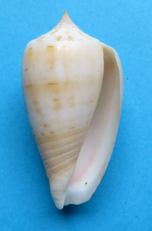 Conus (Phasmoconus) zandbergeni   Filmer & Moolenbeek, 2010 C_zanbeg12