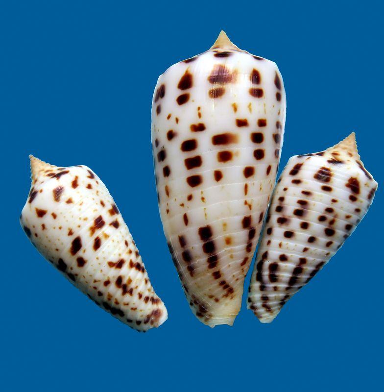 Conus (Phasmoconus) zapatosensis   Röckel, 1987 C_zapatoe10