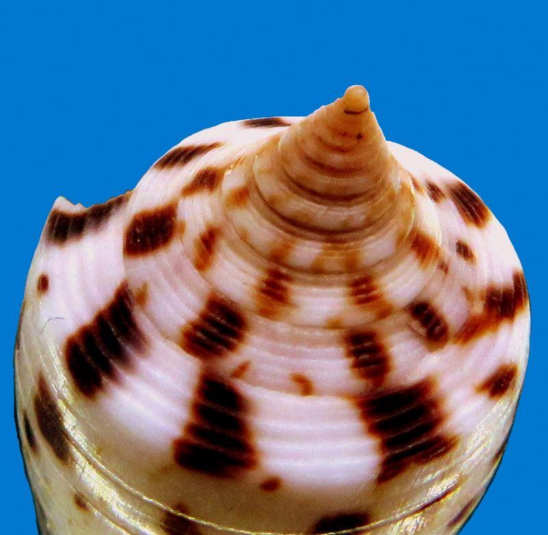 Conus (Phasmoconus) zapatosensis   Röckel, 1987 C_zapatoe_0